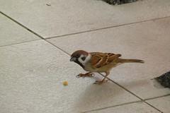 09. Moineau friquet - Passer montanus - Eurasian Tree Sparrow