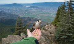 Whiskey Jack on my Hand 3 (bastinaaron) Tags: bird greyjay whiskeyjack