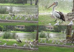 Birds at Budgewoi (pat.bluey) Tags: seagulls birds ngc australia pelican newsouthwales 1001nights budgewoi centralcoastnsw 1001nightsmagiccity