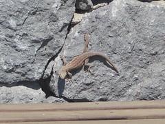 Lagarto (Risager) Tags: lizzard grancan elburrero firben