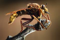 Hornet Robberfly (johnhallmen) Tags: macro insect fly diptera asilidae canonmpe65 canon5dmkii zerenestacker