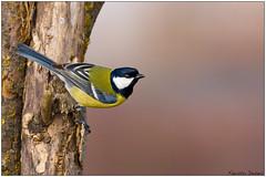 Cinciallegra (Fausto Deseri) Tags: wild nature birds wildlife greattit parusmajor cinciallegra nikontc17eii nikkorafs300mmf4 oasiditivolimanzolino nikond7100 sitodimanzolino