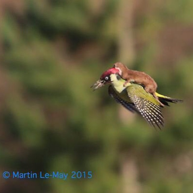 A hungry WEASEL taking a lift on a flying woodpecker  #WeaselPecker http://edition.cnn.com/2015/03/03/europe/uk-woodpecker-WEASEL/index.html