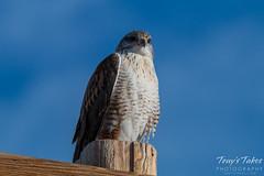 Ferruginous Hawk keeps watch
