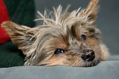 2013-12-25__christmas__0099.jpg (SportShotChris) Tags: christmas family usa dog holiday yorkie mn farmington bitzi 2013