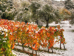 Snow in Autumn Vineyard (Habub3) Tags: schnee autumn snow canon germany deutschland herbst powershot weinberg korb g12 2014 habub3