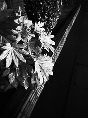 leaves in the night (-ICHIRO) Tags: street digital snap gr iv ricoh 21mm gw2