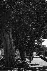 El ultimo adios (Roberto Alarcon) Tags: morning shadow sun white black tree leave sol mañana portugal cemetery leaves dead hojas arbol persona garbage nikon die camino good path walk cementerio negro sombra el muerte paseo porto basura tumbas silueta roberto bye siluet ultimo solitario oporto adios ramas cubos alarcon cemiterio d610 balnco robertoalarcon