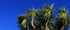 Deep Tropical, Torquay (Torquay Palms) Tags: camera uk blue england sky west tree green english beautiful contrast canon eos bay riviera britain south united country great deep kingdom palm system m exotic devon cabbage tropical tor torquay australis compact westcountry devons the torbay cordyline omot photoscape pixlr caustralis