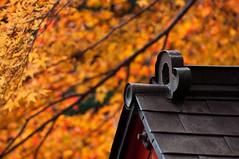 Under the Golden Glow #2 (Edric Lee JJ) Tags: autumn red orange japan nikon kyoto arashiyama   nikkor dx 70300 d90 nonomiya
