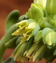 Cremnophila linguifolia (3)