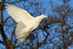 Dove 1 (Harvey Young) Tags: dove doves peacedove whitedove doveofpeace doveinflight fliyingdove
