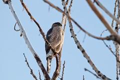 March 5, 2015 - A Cooper's Hawk keeps watch in Thornton. (Shawn Jones)