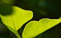 Leaves (Selqet) Tags: nikon may cachi kaki 2014 japanesepersimmon diospyroskaki d3200 selqet