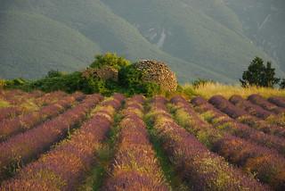Lavender StMartin, France