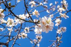 Anglų lietuvių žodynas. Žodis almond tree reiškia migdolų medis lietuviškai.