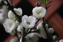 Balcony Garden 1/7 (johey24) Tags: flowers plants white spring balcony blossoms springisimminent balconygardens