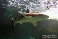 DSC_8421 (slamto) Tags: australia sydneyaquarium sydneysealifeaquarium shark