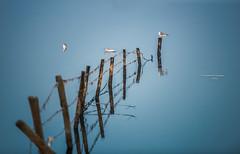 Gully gulls (Ingeborg Ruyken) Tags: 2015 500pxs maas birds blauw blue dropbox februari february flickr gulls meeuwen natuurfotografie river vogels water