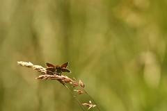 Common Skipper (Derbyshire Harrier) Tags: summer butterfly derbyshire peakdistrict reserve limestone xwing backlit grassland backlighting whitepeak 2016 peakpark commonskipper