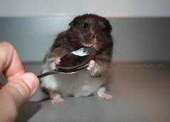 Pi (.annajane) Tags: pi pet hamster cute syrianhamster mesocricetusauratus yoghurt spoon cutiepi animal