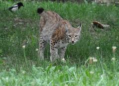 Lynx lynx - Lynx boral ou Lynx d'Eurasie ou Lynx commun -  Eurasian lynx - 25/06/16 (Philippe_Boissel) Tags: lynxlynx lynx lynxboral lynxdeurasie lynxcommun eurasianlynx carnivora felidae captive felinae mammals mammifre 0987