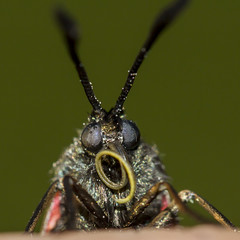 Wet Burnet...... (The Mad Macrographer) Tags: 6spotburnet moth dew macro portrait insect meadow outdoors peterborough uk canon7d canonef100mmf28lmacroisusm nikkvalentine