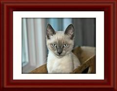 Cattacus Framed 004 (Chrisser) Tags: animals animal cats cat kittens kitten nature ontario canada canoneosrebelt1i canonefs60mmf28macrousmprimelens crazyaboutcats ourcatcompanions bestofcats kissablekat kissablekats kissablekitty kissablekitties