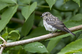 Juvenile Spotted flycatcher