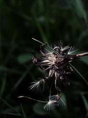 #fiore #secco #natura #macro (iliturner) Tags: natura fiore macro secco