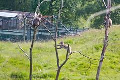 Japanese Macaque's (IMG_8600) (Cameron Burns) Tags: park uk nature animal japan zoo monkey scotland safari national aviemore saru cairngorms kincraig kingussie snowmonkey cairngormsnationalpark japanesemacaque omnivore highlandwildlifepark macacafuscata nihonzaru rzss
