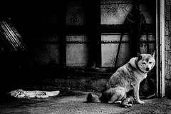 Juste un chien (www.danbouteiller.com) Tags: japon japan japonia aomori city ville urban street streetscene streetlife streets streetshot streetphotography streetphoto photoderue photo rue dog chien contrast contraste mono monochrome monochromatic black white noir blanc bw nb noiretblanc blackandwhite blackwhite canon eos 550d canon550d 50mm 50mm14