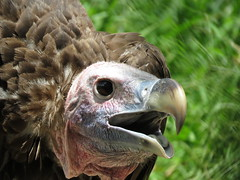 Nubian vulture (Torgos tracheliotos) (Mel's Looking Glass) Tags: vulture nubian torgos tracheliotos