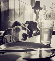 Supper at the pub with my Whippets (paullewin1) Tags: dogs beer naked nude pub hare derbyshire peakdistrict sheffield yorkshire whippet cricket supper pint whippets totley gastro thornbridge