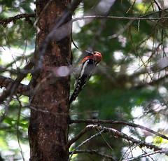 Rat-tat-tat-tat-tat (huw-ogilvie) Tags: woodpecker yosemite sapsucker redbreasted ruber sphyrapicus