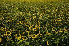 sunflowers' back (lucafabbricesena) Tags: sunflower back field summer landscape romagna italy grass plant flower sunrise dawn morning emiliaromagna flora