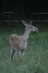 IMG_9662 (thinktank8326) Tags: deer whitetaileddeer fawn babydeer