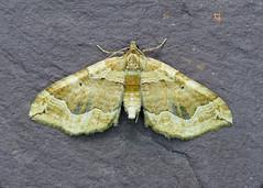 70.069 Dark Spinach - Pelurga comitata (erdragonfly) Tags: 70069 bf1749 pelurgacomitata nationalmothweek