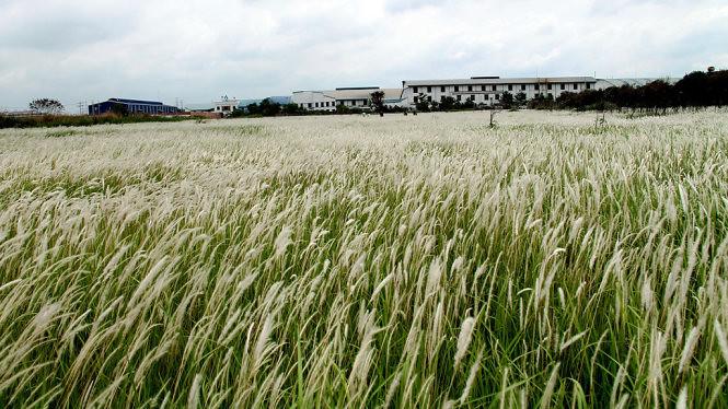 Đồng cỏ lau huyện Đức Hòa, Long An