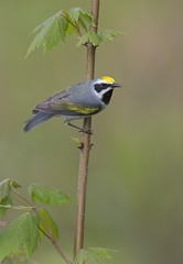 Golden-winged Warbler PA _E1U8689 May 2016 (www.sabrewingtours.com) Tags: pennsylvania forest photo photography pa songbird bird male sabrewing nature tours snt brian zwiebel bz tour may goldenwinged warbler vertical succesional hardwood regenerating clear cut maple