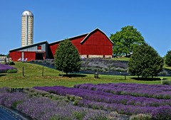 Stunning Colors......Lovely Fragrance....... (smiles7) Tags: barn lavenderfields lavender silo red purple summer 3662016