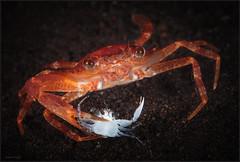 IMG_9955 (NonnaSP) Tags: bali crab diving hunting indonesia macro ocean sea seraya tulamben underwaterphotography water