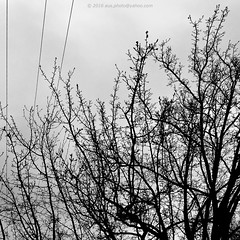 Electric Tree (aus.photo) Tags: blackandwhite bw tree monochrome blackwhite rainyday overcast australia powerlines rainy electricity powerline canberra deciduous leafless turner greyday act cbr australiancapitalterritory overcastsky overcastday leaflesstree deciduoustree ausphoto