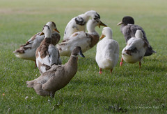 Ducks - Walton Hall (05) (Malcolm Bull) Tags: 20160728walton0005edited1 walton hall ducks