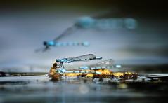 Blue Flight (2016-08-06) (snjscuba) Tags: uk england northamptonshire geddington boughton house common blue blue flight fly flying water damselfly float floating