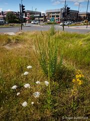 Urban Flora (Roger B.) Tags: daucuscarota ragwort resedaluteola seneciojacobaea urbanecology weld wildcarrot sheffield southyorkshire unitedkingdom