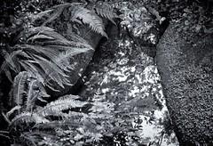 La vallee des Traouiero, le ruisseau (dominique.miltat) Tags: vgtation fougres valle bretagne trgastel ruisseau reflets traouiro plantes feuilles
