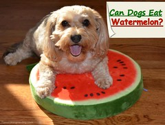 Can Dogs Eat Watermelon? (yourdesignerdog) Tags: ifttt wordpress advice tips tricks all posts blog dog bed smiling dogs fruit human food safe for summer tongue out vegetables watermelon wordless wednesday