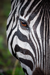Zebra portrait - Swaziland (lucien_photography) Tags: africa zebra zbre animal sigma150600 head closeup canon close portrait afrique hlane swaziland hlaneroyalnationalpark eye textures