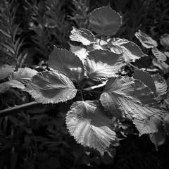 _8D10296-klein (meistermacher) Tags: distagon282zf availablelight distagont228 zf2 bw black white anselm adams light flowers flickrglobal flickraward flickrdiamond anselmadams dirkfietzfotografie blackandwhite schwarz weiss